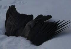 Strage di corvi ad Ambrí, la polizia indaga sulle cause.
